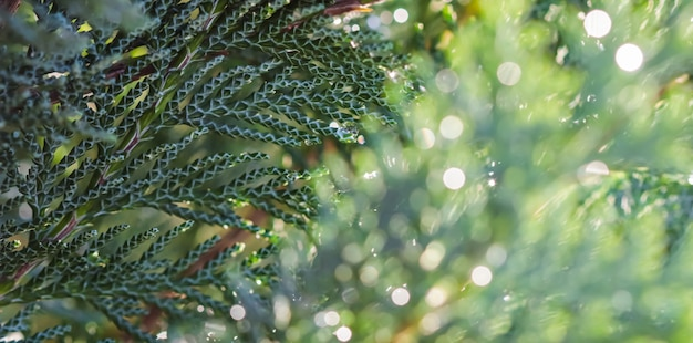 Closeup blauwe bladeren van groenblijvende naaldboom lawson cipres of chamaecyparis lawsoniana after