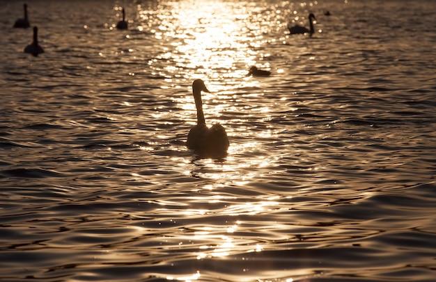 Closeup eenzame witte zwaan, mooie watervogels zwanen in de lente, een grote vogel bij zonsondergang of dageraad in de zon, oranje licht en water