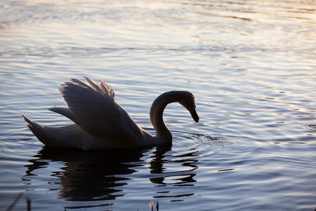 Closeup eenzame witte zwaan mooie watervogels zwanen in het voorjaar een grote vogel bij zonsondergang of dageraad in de zon oranje licht en water