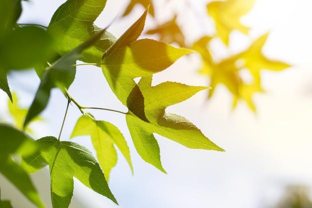 Closeup groen esdoornblad met zonlicht voor biowetenschap van chlorofyl en proces van fotosynthese in het zomerseizoen van de natuurplant.