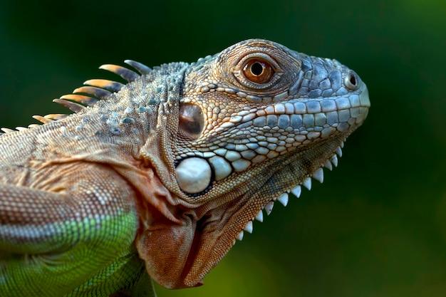 Closeup hoofd van groene leguaan