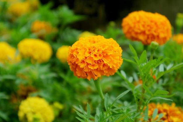 Closeup levendige oranje goudsbloem bloem bloeien in het veld
