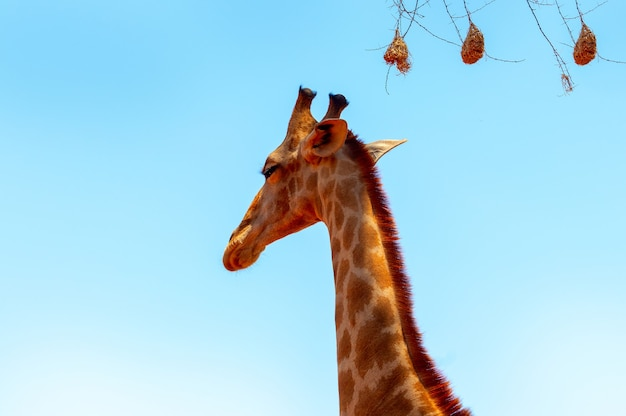 Closeup namibische giraf op blauwe hemelachtergrond