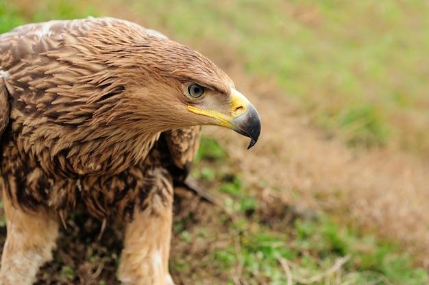 Closeup portret jonge adelaar in gras