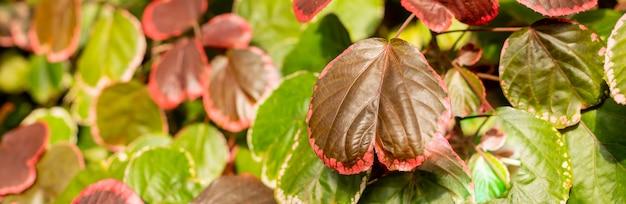 Closeup rood autum blad van iresine diffusa, bloedblad, kruidentii planten. irisine sierplant, mooi en fris blad patroon, tropische natuurlijke bladeren