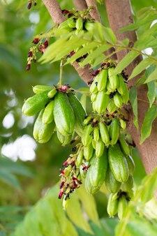 Closeup stelletje bilimbi fruit op boom in farm