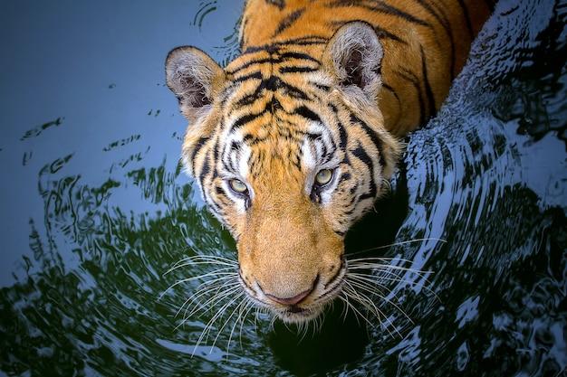 Closeup tijger gezicht in het water.