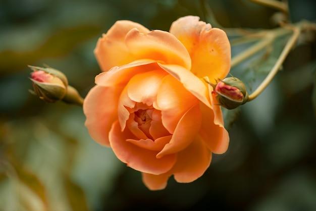 Closeup van oranje roos bloei in de herfst tuin