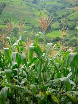 Closeup verse maïs plant boerderij op groene heuvel, lokale landbouw