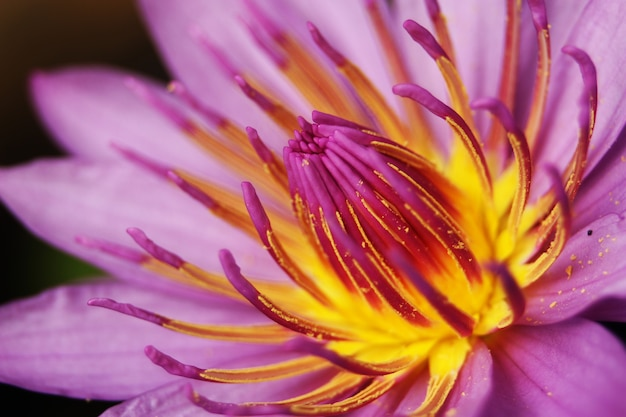 Closeup waterlily lotusbloem