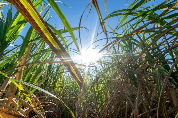 Clouse omhoog suikerrietgebied met blauwe hemel en zonstralenaardachtergrond.