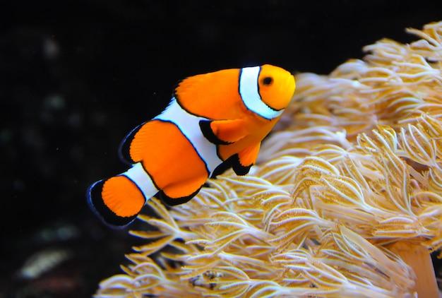 Clown anemonefish, amphiprion, die tussen de tentakels van zijn anemoonhuis zwemt