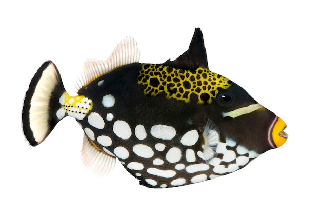 Clown triggerfish, balistoides conspicillum, op geïsoleerd wit
