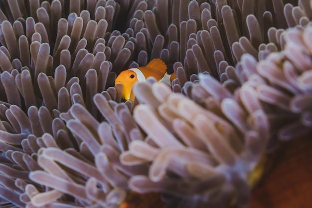 Clownfish shelters in zijn gastheer anemoon op een tropisch koraalrif