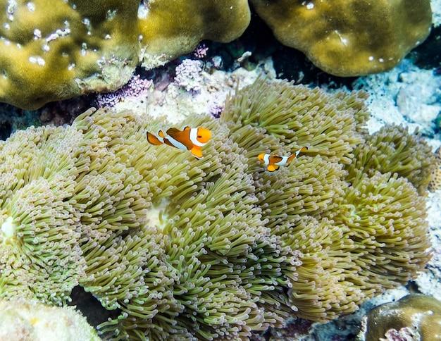 Clownvis verstopt in koraalrif