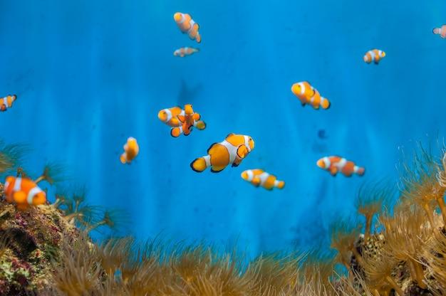 Clownvissen en anemonen op een blauwe achtergrond