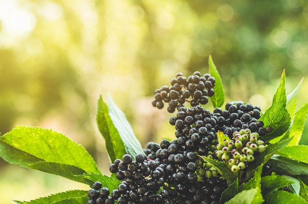 Clustersfruit zwarte vlierbes in tuin in zonlicht (sambucus-nigra). oudere, zwarte oudere, europese zwarte vlierbesachtergrond