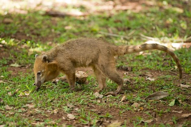 Coati die op het gras loopt