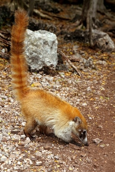 Coati ring tailed nasua narica dier