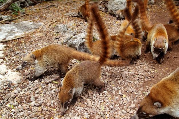 Coati ring tailed nasua narica dier