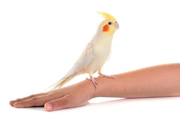 Cockatiel vogel