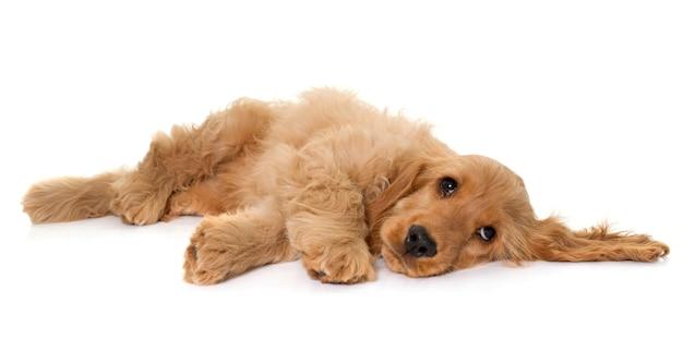 Cocker spaniel hond