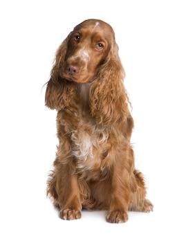 Cocker spaniel met 1,5 jaar. geïsoleerd hondportret