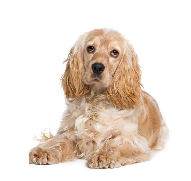 Cocker spaniel met 1 jaar. geïsoleerd hondportret