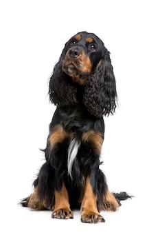 Cocker spaniel met 2 jaar. geïsoleerd hondportret