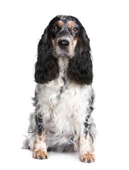 Cocker spaniel met 5 jaar. geïsoleerd hondportret