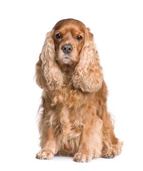 Cocker spaniel met 6 jaar. geïsoleerd hondportret