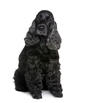Cocker spaniel met 9 jaar. geïsoleerd hondportret