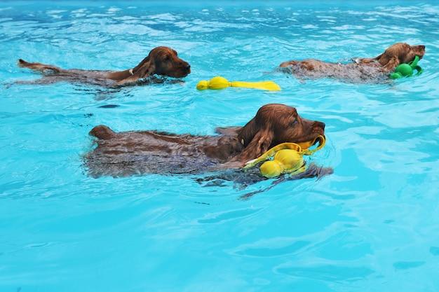 Cocker zwemmen