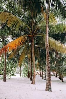 Coconut palmbomen in een tuin.