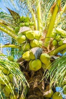 Coconut palmboom