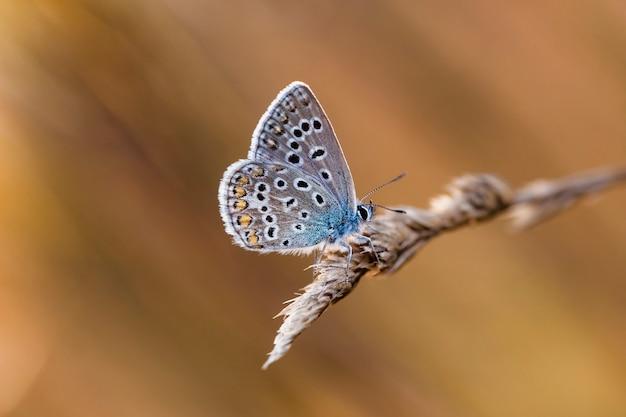 Coenonympha-vlinder in het veld in een inheemse habitat