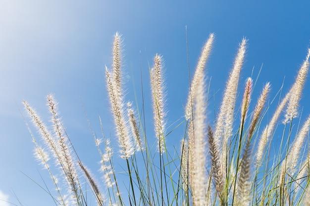 Cogon grass op blauwe hemel