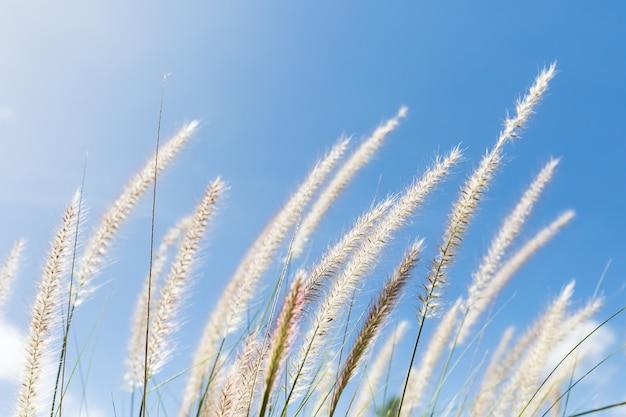 Cogongras op blauwe hemelachtergrond