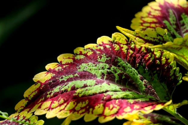Coleus is een plant die is gekweekt om de tuin te versieren