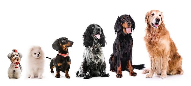 Collage van verschillende grootte schattige pluizige honden geïsoleerd