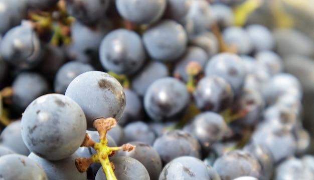 Collectie van rijpe druiven. rode wijn druiven achtergrond. vers geplukte zwarte, blauwe of rode donkere wijndruiven. gezonde vruchten. druiventrossen, klaar om te eten. bessentextuur als achtergrond. druivensoort.