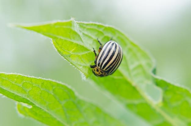 Colorado bug op groen blad