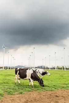 Com die gras in landbouwbedrijf met windmolen eet