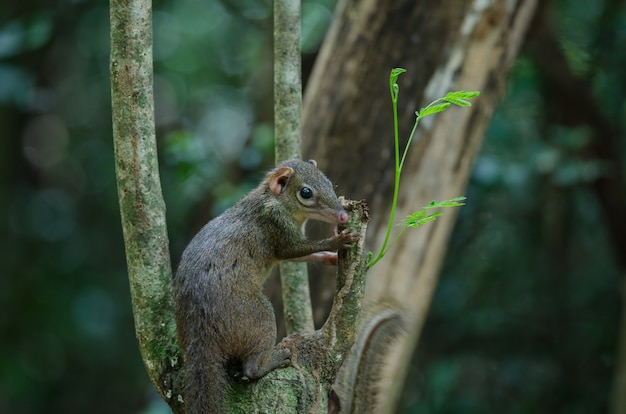 Common treeshrew of southern treeshrew
