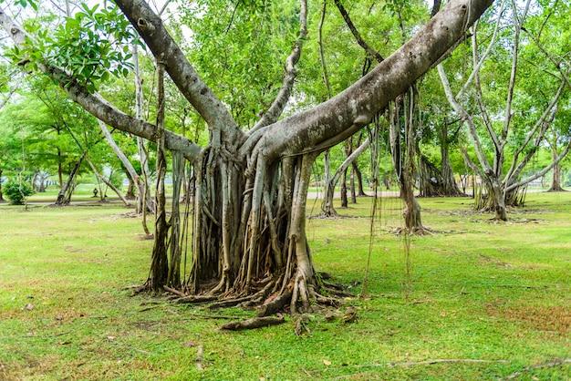 Complexe wortel van banyanboom