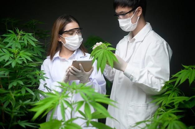 Concept van cannabisplantage voor medisch, een wetenschapper die een reageerbuis en laptop vasthoudt om te analyseren op een cannabisboerderij