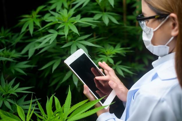 Concept van cannabisplantage voor medisch, een wetenschapper die tablet gebruikt om gegevens te verzamelen over de binnenteelt van cannabis