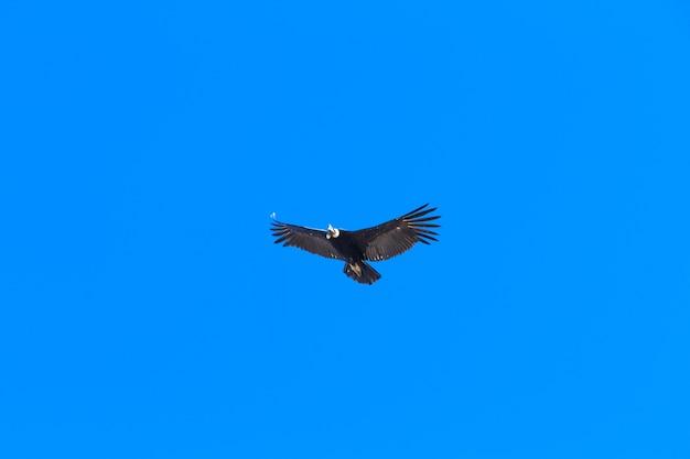 Condor die in blauwe hemel vliegt