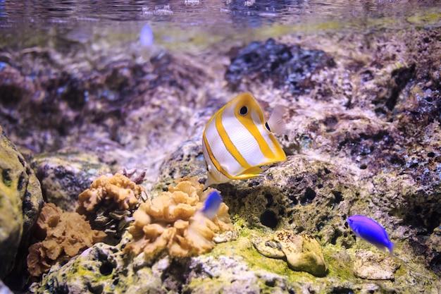 Copperband butterflyfish thailand onderwater