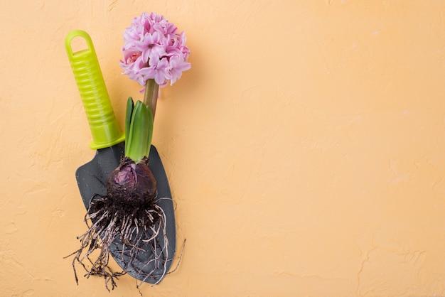 Copy-space hyacintwortel op tafel